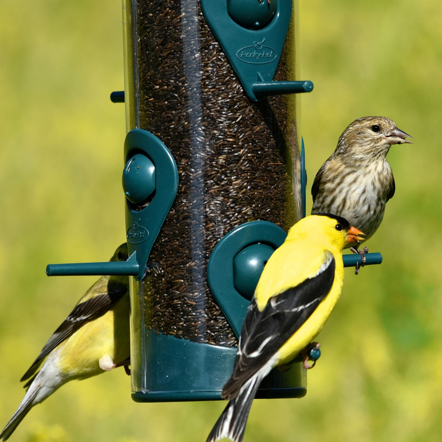 finch housefinch behavior house at new and research acquisition spread feeders of blog colindonner links eye to disease feeder the