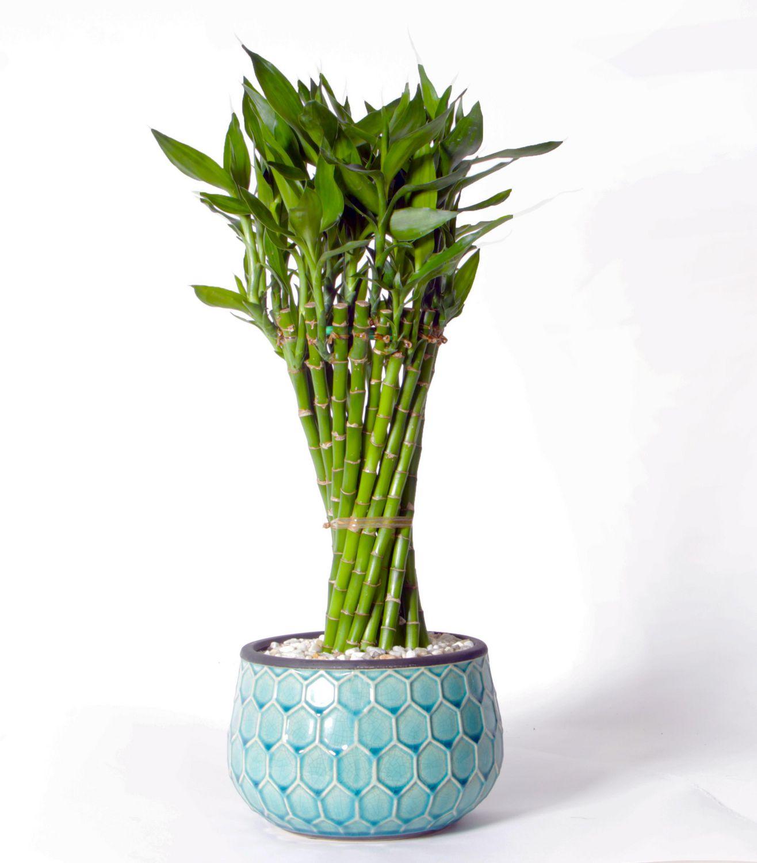 Costa farms lucky bamboo mosaic pot plant walmart canada reviewsmspy