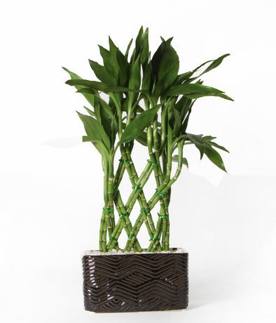 Costa Farms Medium 6 Quot Lucky Bamboo Pot Plant Walmart Ca