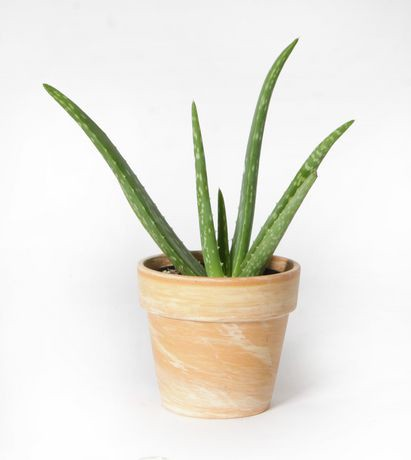 Costa farms aloe vera 4 clay pot plant walmart canada - Aloe vera en pot ...