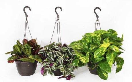 costa farms exotic angel houseplant 8 hanging basket plant walmart canada. Black Bedroom Furniture Sets. Home Design Ideas