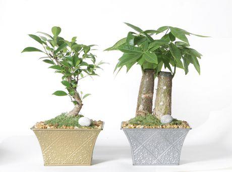 Costa farms bonsai 6 oxygen pot plant for Achat plante