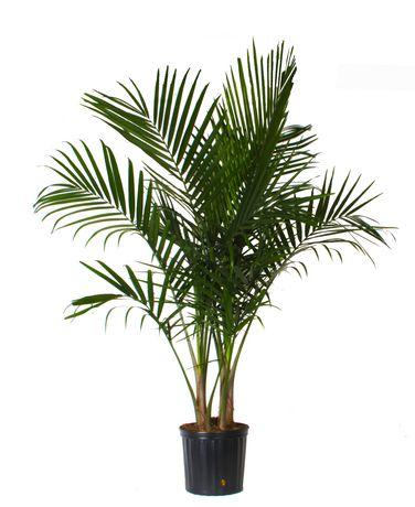 Palmier majest de costa farms dans un pot de 25 4 cm 10 for Palmier dans pot