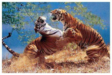 Tigres de combat - image 1 de 1