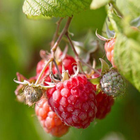 les bulbes, c'est facile Plante Fruitière - Framboise Assortment - image 5 de 6