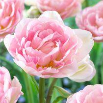 Flower Bulbs - Tulip Double Late Angelique ( 30 Bulbs  )