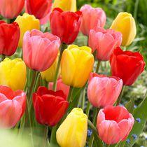 Flower Bulbs - Tulip Darwin Hybrid Assorted ( 30 Bulbs  )