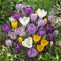 Flower Bulbs - Crocus Vernus & Flavus Assorted ( 45 Bulbs  )