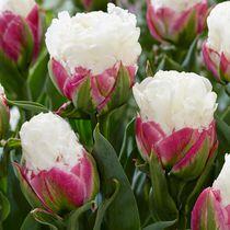 Flower Bulbs - Tulip Double Late Ice Cream ( 25 Bulbs  )